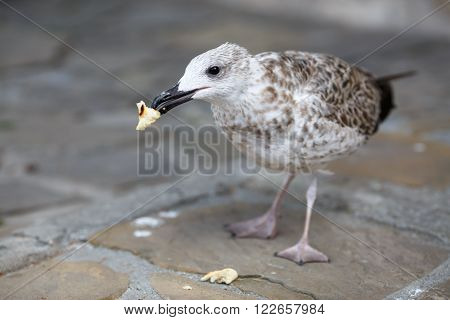 Herring Gull eats a piece of bread standing on the sidewalk. Shallow depth of field. Selective focus.
