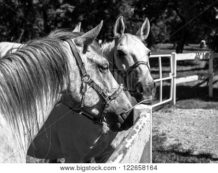 Portrait of two Lipizzaner stallions standing behind fence, Lipica, Slovenia