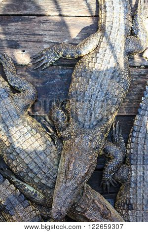 many crocodiles large crocodiles cambodia many crocodiles large crocodiles cambodia