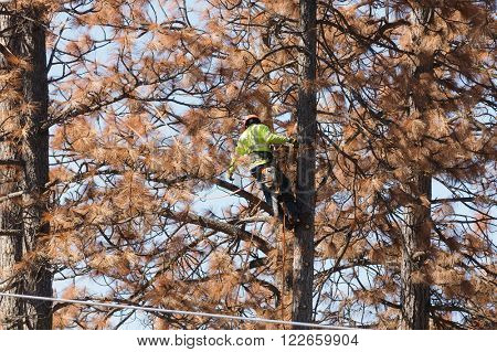 West Point, CA-March 15, 2016: Lumberjack removing dead beetle killed trees so they do not fall on power lines in California
