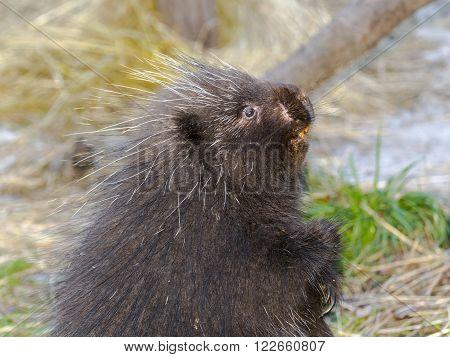 North American or common porcupine (Erethizon dorsatum)