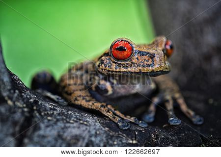 tropical tree frog, Hyloscirtus armatus from the Amazon rain forest.