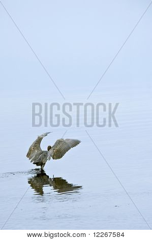 Blue Heron Wings Out