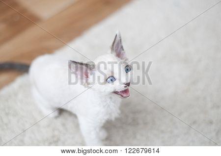 Devon-rex Kitten Meows