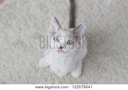 Little Devon Rex Kitten