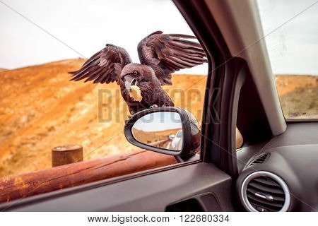 Black raven taking a peace of bread from the car mirror. Feeding wild birds