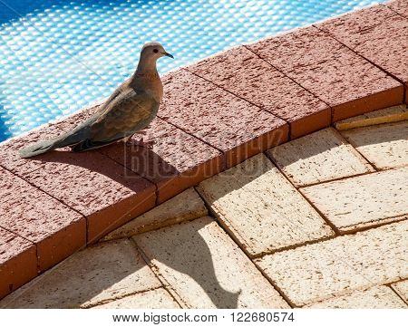 Brown slender-billed cuckoo dove standing in profile on a pool edge brick surface with a blue bubble pool cover in the background.
