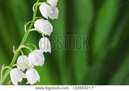Lily of the Valley on  green background.