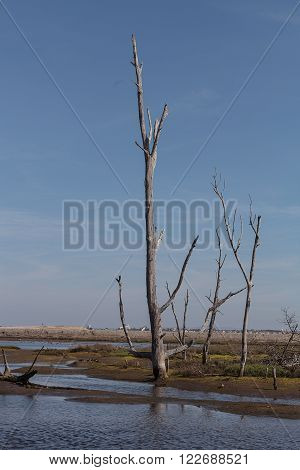 Dead trees stand tall and stark in a California marsh in summer