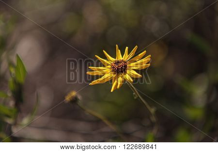 Black eyed Susan yellow daisy flower Rudbeckia fulgida with pointed petals blooms on the outskirts of a marsh in Southern California. ** Note: Shallow depth of field