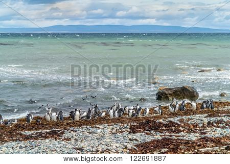 Colony of Magellanic Penguins (Spheniscus magellanicus) at Seno Otway close to Punta Arenas in Patagonia, Chile