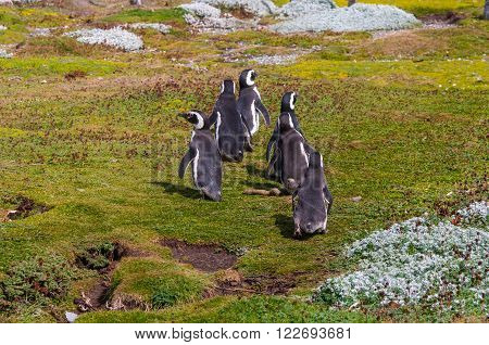 Group of Magellanic penguins at the Patagonian coast Chile