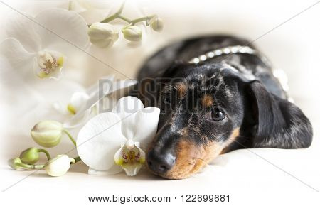 dachshund and flowers orchid,