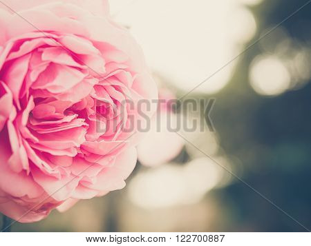 Beautiful pink roses with de-focused bokeh green leaves andlights in background. Extremely shallow dof. Vintage style photo and filtered process.