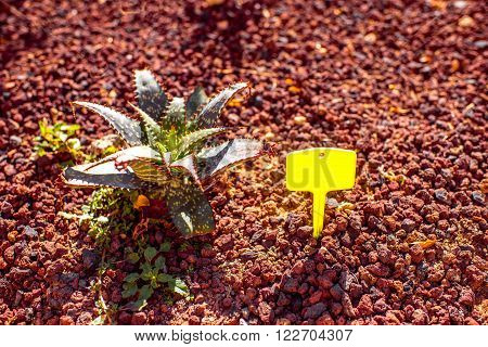 Aloe vera bush on the red ground with information table grown on Fuerteventura island