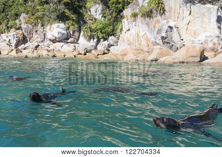 Swimming seals in Abel Tasman National Park, New Zealand