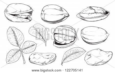 Pistachio on white background. Pistachio seeds. Engraved raster illustration of leaves and nuts of Pistachio. Isolated pistachio.
