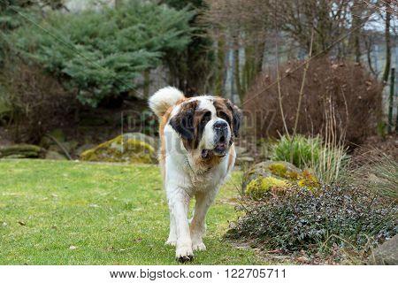 Portrait Of A Nice St. Bernard Dog
