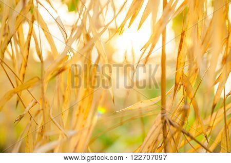 Soft focus dry leave bamboo with sunrise.