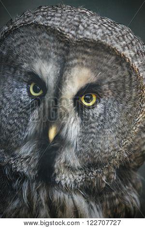 The Great Grey Owl or Strix nebulosa closeup portrait