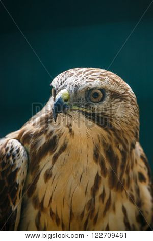 The Northern Goshawk or Accipiter gentilis closeup portrait