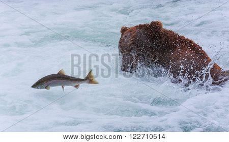 Grizzly bears fishing salmon at Katmai National Park, Alaska