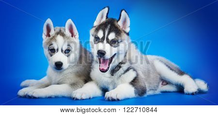 Siberian Husky puppy group