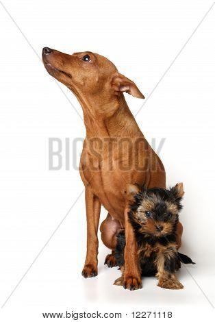Red Miniature Pinscher and yorkie puppy