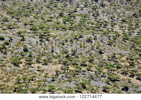Dragon tree forest in Dixam canyon - Dracaena cinnabari - Dragon's blood - endemic tree of Socotra island