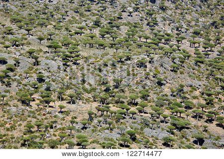Dragon tree forest in Dixam canyon - Dracaena cinnabari - Dragon's blood - endemic tree of Socotra island