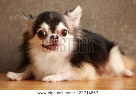 Dog Chihuahua on the floor style .