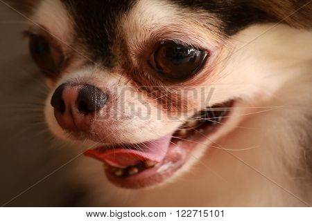 Dog Chihuahua close up the face style