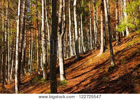 Undergrowth in autumn with beech trees and pine. Val di Sella (Sella Valley), Borgo Valsugana, Trento, Italy