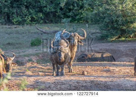 Mud covered buffaloes at sunset at the Nyati waterhole at the main camp in the Addo Elephant National Park of South Africa