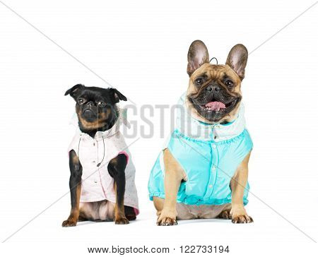 Two lap purebred dogs in clothes sits in studio and looking at camera