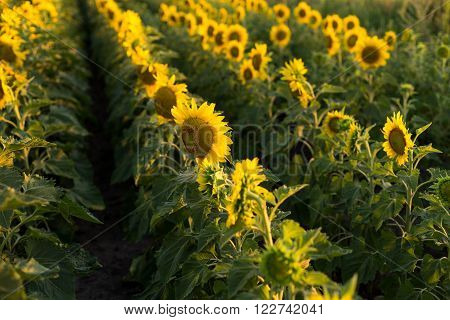 Rows of sunflowers in a field top view