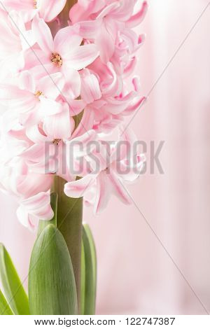 Pink hyacinth spring flower closeup on pink background