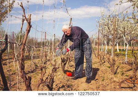 Gardener with a sharp pruner making a grape pruning - cutting branches at spring.
