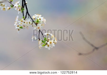 cherry-tree flowers isolated in forest, close up