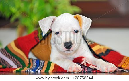 American Staffordshire terrier puppy sitting on blanket