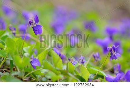 purple violet flowers in nature, close up