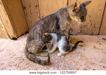 stray mother cat nursing her kitten with love on the road