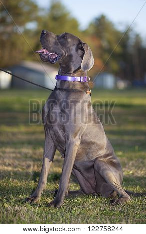 Grey Great Dane that is purebred sitting on a grassy field