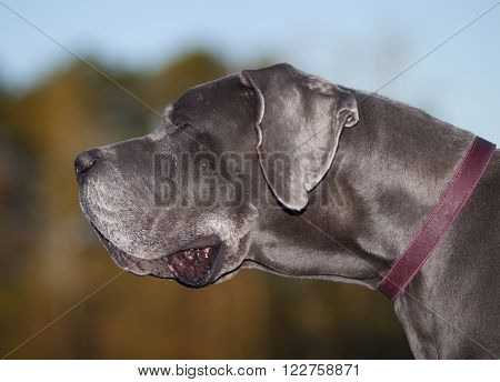 Great Dane that is purebred old enough to have gray hair