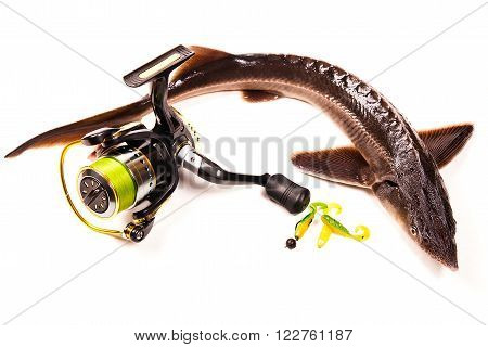 Fresh small sturgeon fish isolated on white background. Fresh sterlet fish just taken from the water. Modern fishing reel with lures on white background. Sterlet is a small sturgeon farmed and commercially fished for its flesh and caviar.