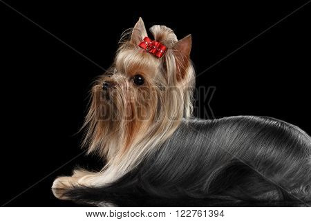 Closeup Yorkshire Terrier Dog with long groomed Hair Lies Isolated on black background