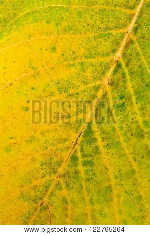 Autumn Walnut Tree Leaf As Background.