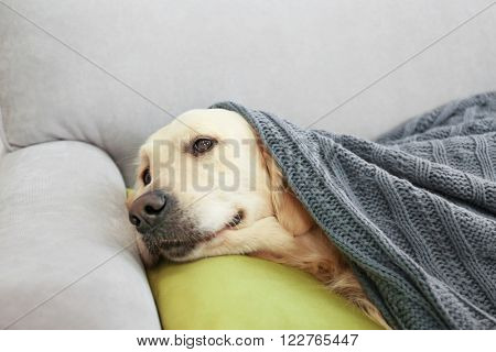 Golden retriever lying under the blanket on a sofa at home