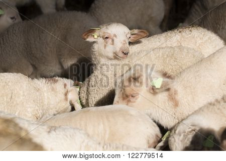 Flock of lambs standing together in a stable