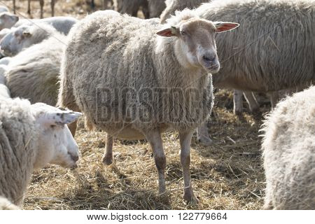 White sheep standing between other sheep outside